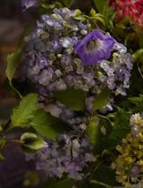 黒ホオズキと紫陽花